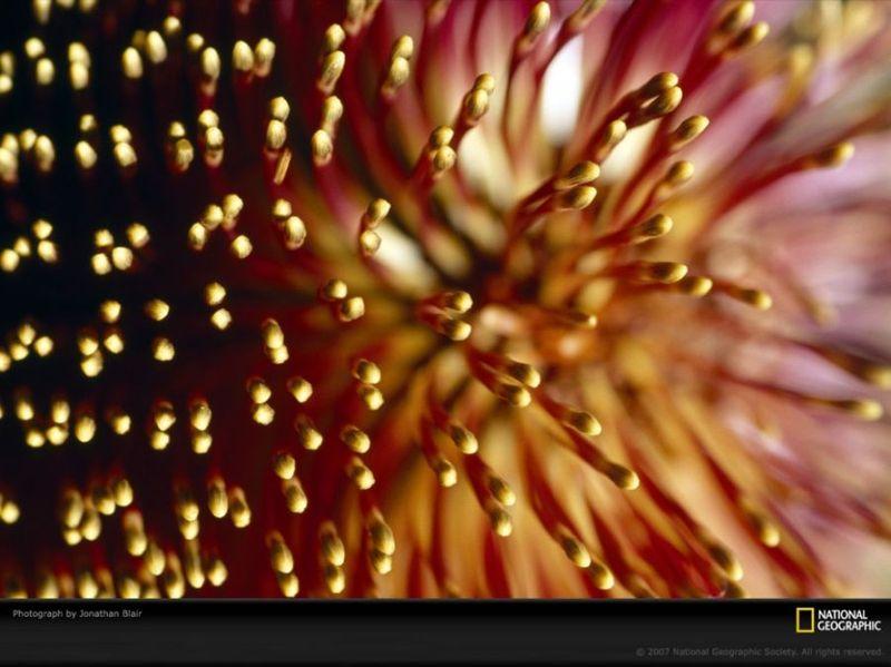 Характерні голки квітки Банкса, який поширений в Австралії. Цей був сфотографований на фермі в Маунт Баркер. (Jonathan Blair)
