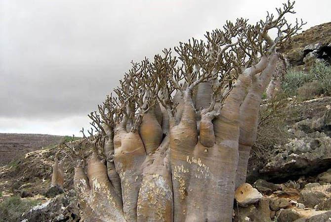 Острів Сокотра - дивовижне місце як з іншої планети (7)