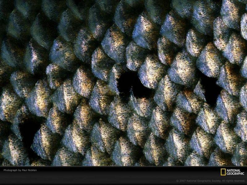 Луска атлантичного лосося в Квебеку може розповісти експерту про вік риби. (Paul Nicklen)
