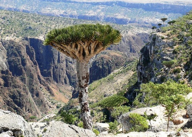Драконове дерево. Сокотра