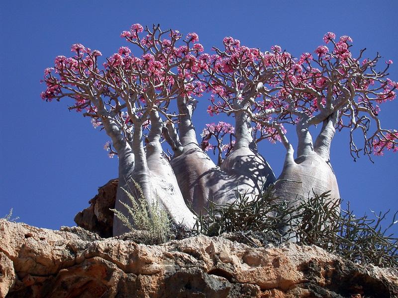 1-Роза Пустелі. Острів Сокотра
