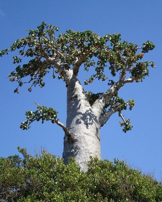 огіркове дерево острова Сокотра