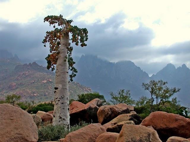 2 огіркове дерево острова Сокотра