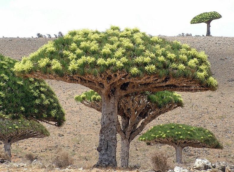 3-Драконове дерево. Сокотра