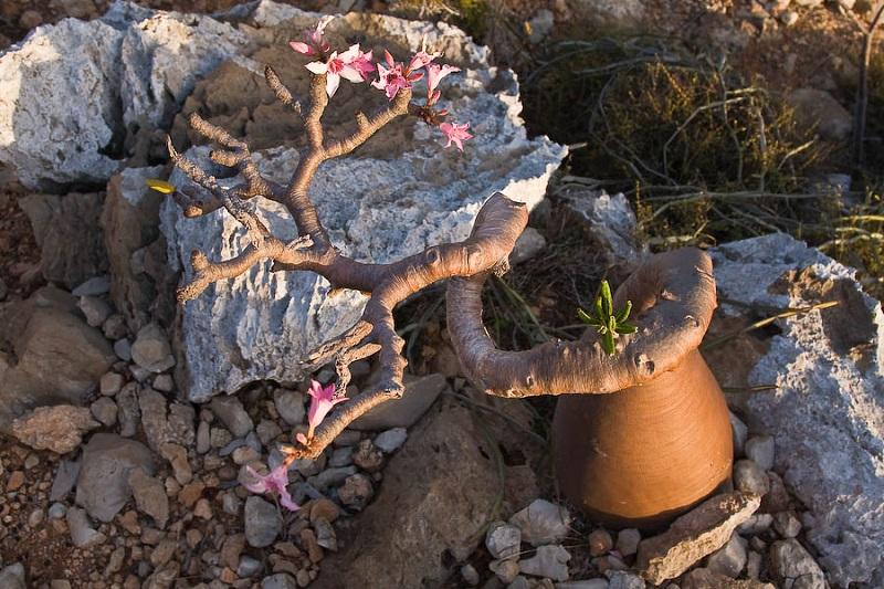 3-Роза Пустелі. Острів Сокотра