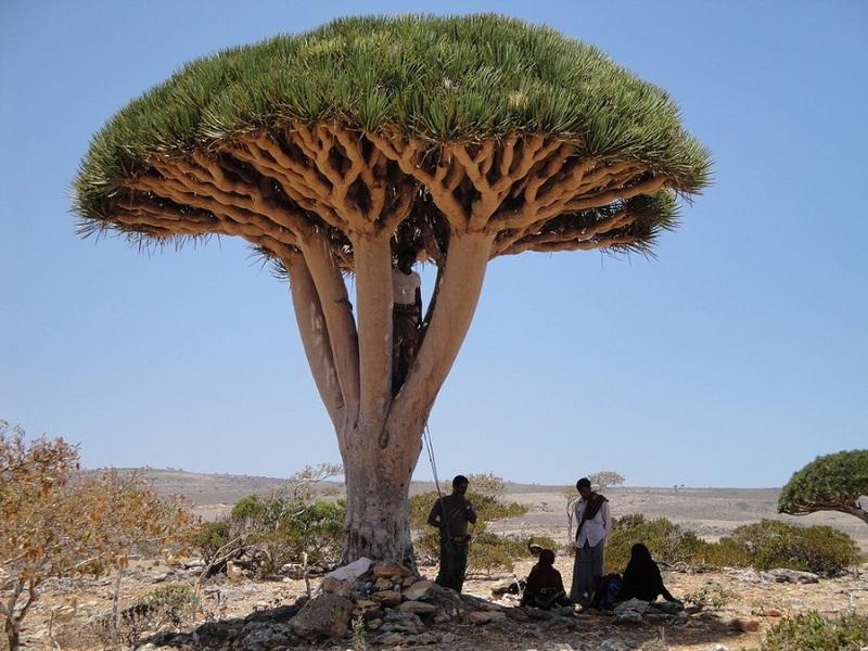 5-Драконове дерево. Сокотра