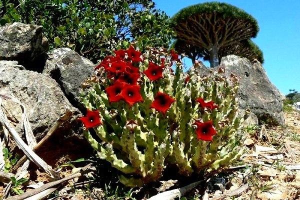 5-Природа острова Сокотра. Ємен