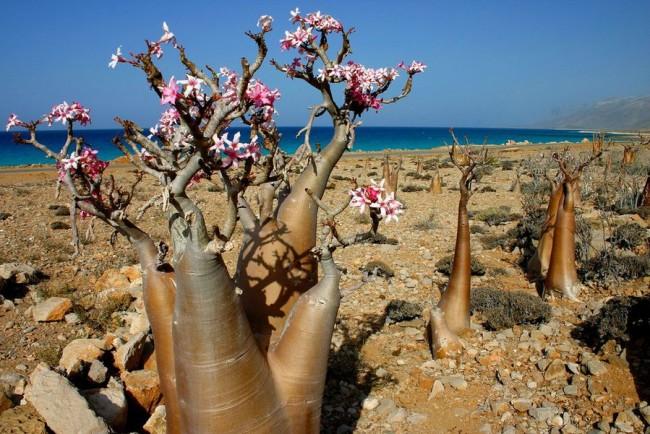 6-Природа острова Сокотра. Ємен