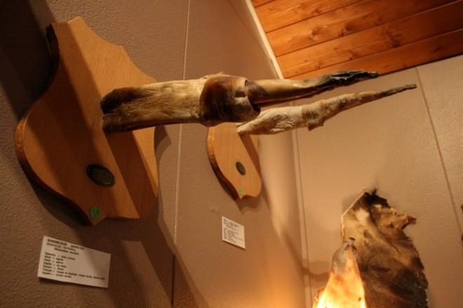 Члени тварин, людей, ельфів і тролів. Ісландська фаллологіческій музей (3)