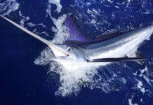 Найшвидша риба в світі - риба-парусник (1)