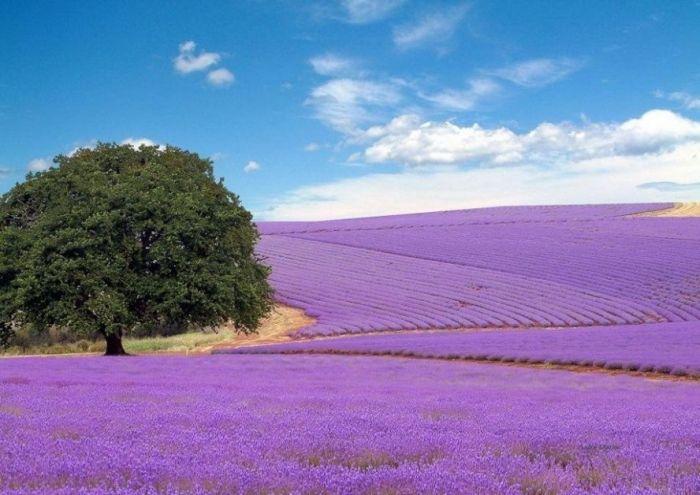 Дивовижна краса неосяжних лавандових полів на півдні Франції (12)