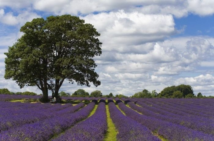 Дивовижна краса неосяжних лавандових полів на півдні Франції (11)