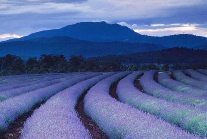 Дивовижна краса неосяжних лавандових полів на півдні Франції (10)