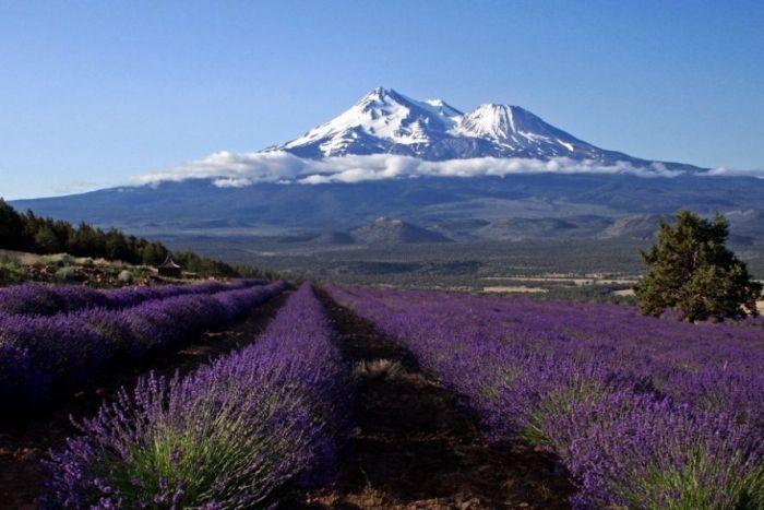 Дивовижна краса неосяжних лавандових полів на півдні Франції (9)