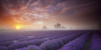Дивовижна краса неосяжних лавандових полів на півдні Франції (8)