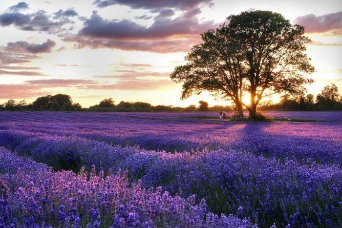 Дивовижна краса неосяжних лавандових полів на півдні Франції (7)