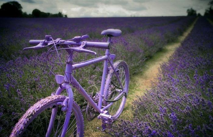 Дивовижна краса неосяжних лавандових полів на півдні Франції (6)