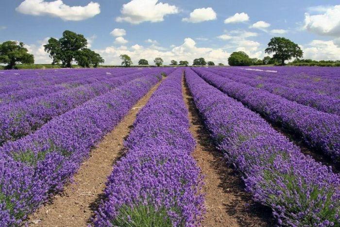 Дивовижна краса неосяжних лавандових полів на півдні Франції (5)