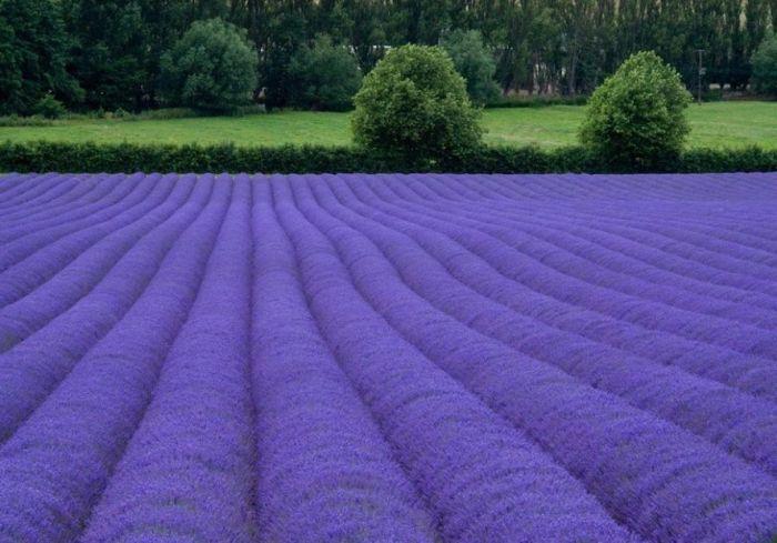 Дивовижна краса неосяжних лавандових полів на півдні Франції (4)