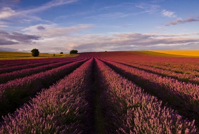 Дивовижна краса неосяжних лавандових полів на півдні Франції (1)