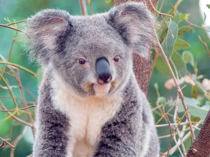 Що ж стосується найбільш екзотичних тварин австралійського континенту, яких можна зустріти лише в тутешніх національних парках, є коали, кенгуру, єхидни і качконіс