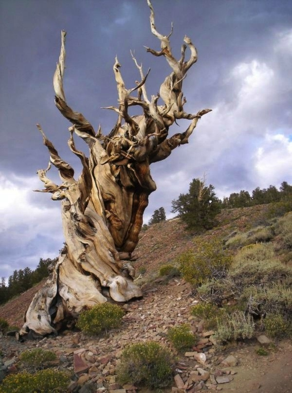Найстаріший живий організм — древня сосна Мафусаїл (4)