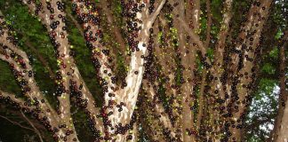 Дивовижне бразильське дерево джаботікаба (10)