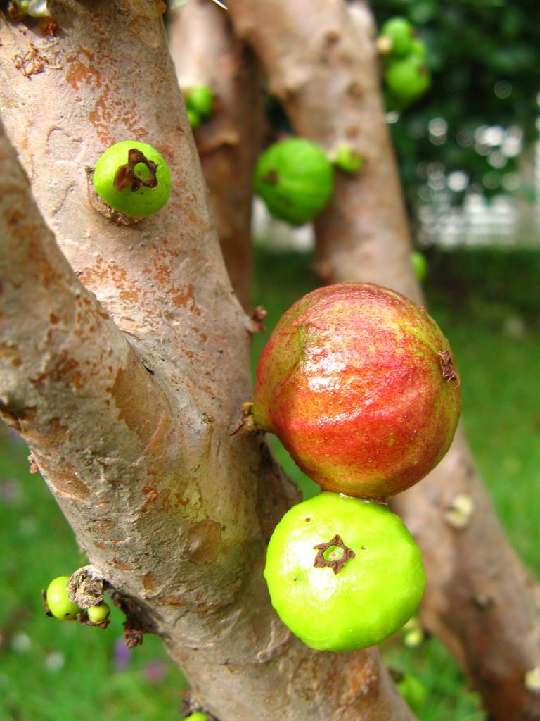 Дивовижне бразильське дерево джаботікаба (9)
