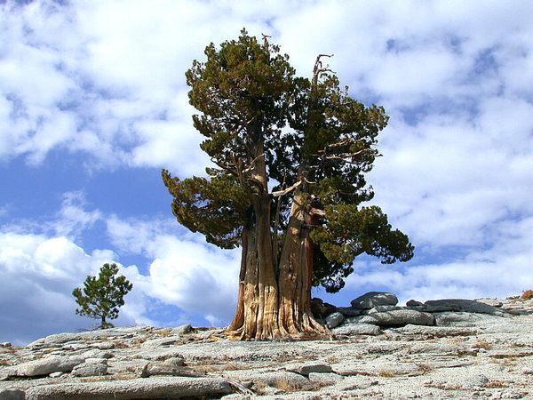 Найстаріший живий організм — древня сосна Мафусаїл (3)