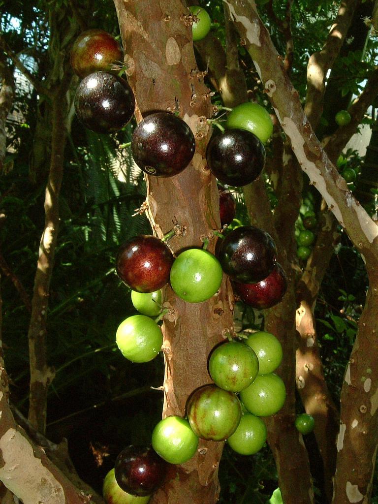 Дивовижне бразильське дерево джаботікаба (8)