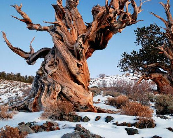 Найстаріший живий організм — древня сосна Мафусаїл (2)