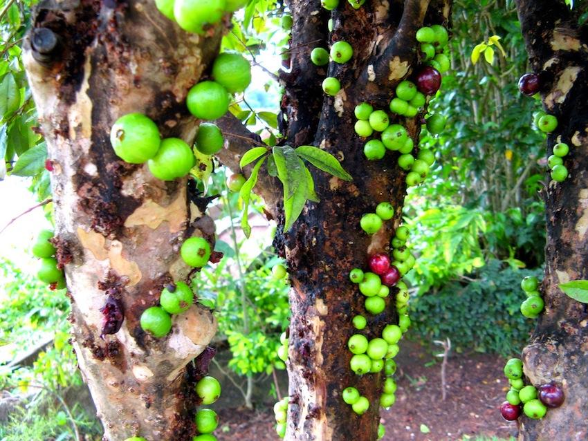 Дивовижне бразильське дерево джаботікаба (6)