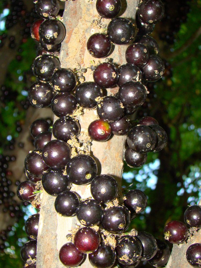 Дивовижне бразильське дерево джаботікаба (5)
