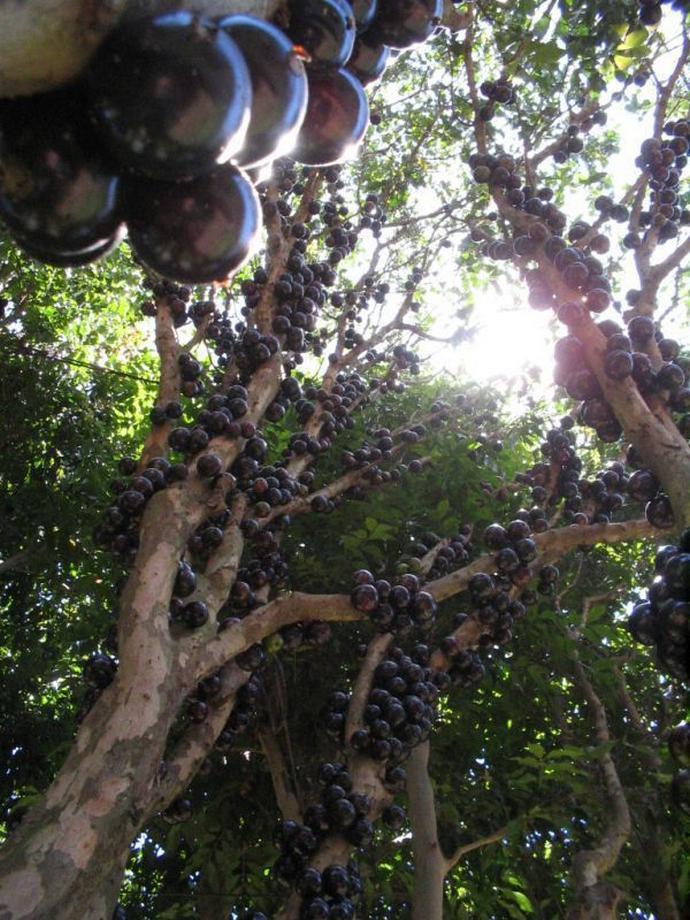Дивовижне бразильське дерево джаботікаба (4)