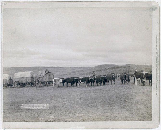 Фургони та бичачі упряжки в полі. Знімок зроблений в 1890 році.