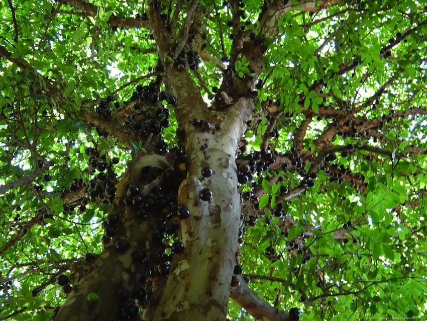 Дивовижне бразильське дерево джаботікаба (2)