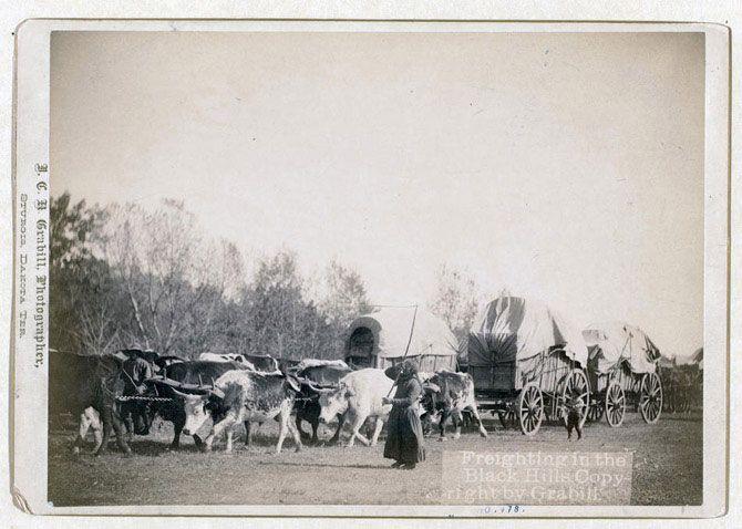 Вантажні перевезення в Блек-Хіллс. Жінка і хлопчик за допомогою декількох бродяг стережуть упряжки биків. Знімок зроблений між 1887 і 1892 роками.