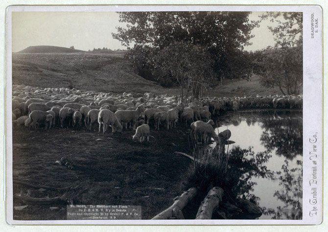 «Пастух і стадо». Стадо овець, що належить залізничній компанії «Фрімонт, Елкхорн і Міссурі Веллі» на водопої. 1891 рік.