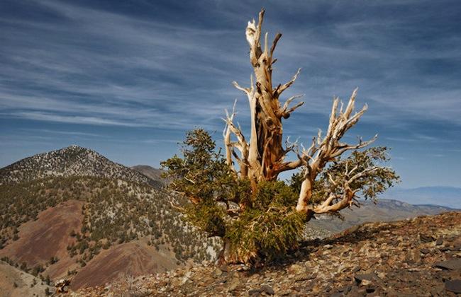 Найстаріший живий організм — древня сосна Мафусаїл (1)