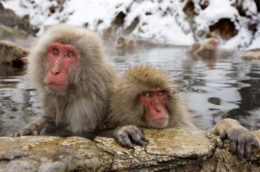 Мавп'ячий курорт Долина Дзігокудані («Пекельна долина») (15)