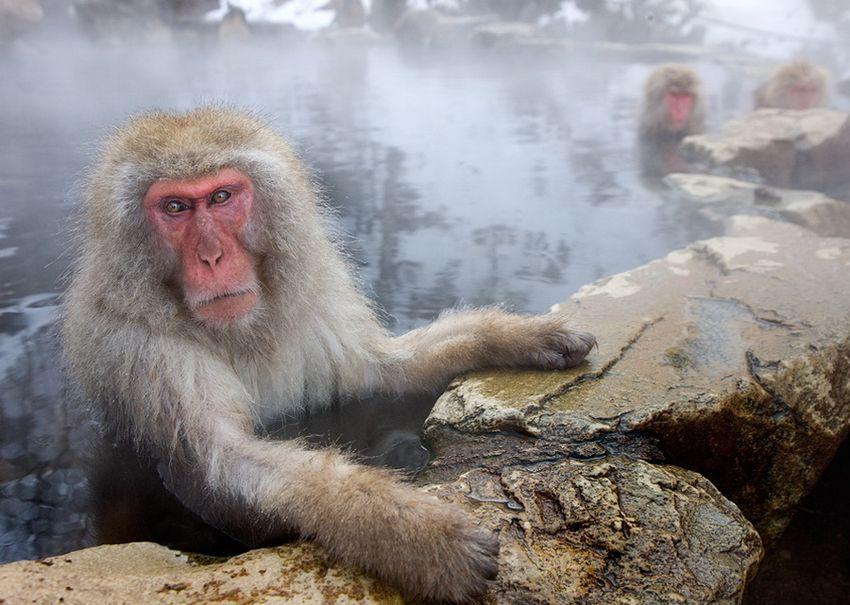 Мавп'ячий курорт Долина Дзігокудані («Пекельна долина») (14)