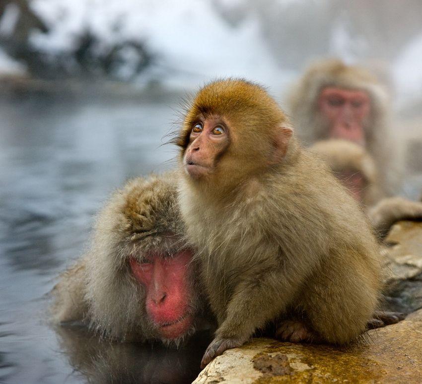 Мавп'ячий курорт Долина Дзігокудані («Пекельна долина») (12)