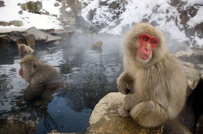 Мавп'ячий курорт Долина Дзігокудані («Пекельна долина») (11)