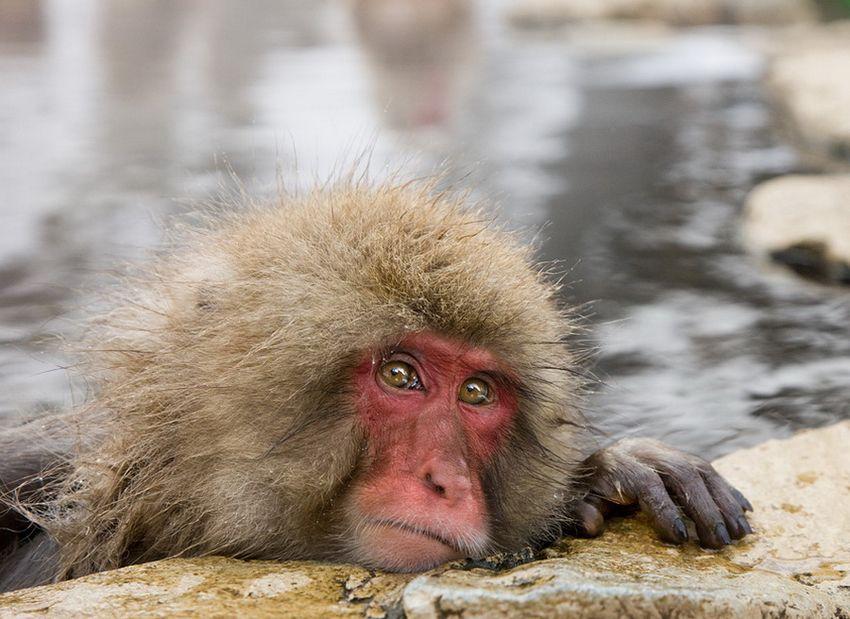 Мавп'ячий курорт Долина Дзігокудані («Пекельна долина») (8)