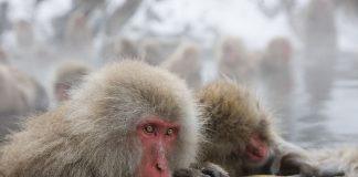 Мавп'ячий курорт Долина Дзігокудані («Пекельна долина») (7)