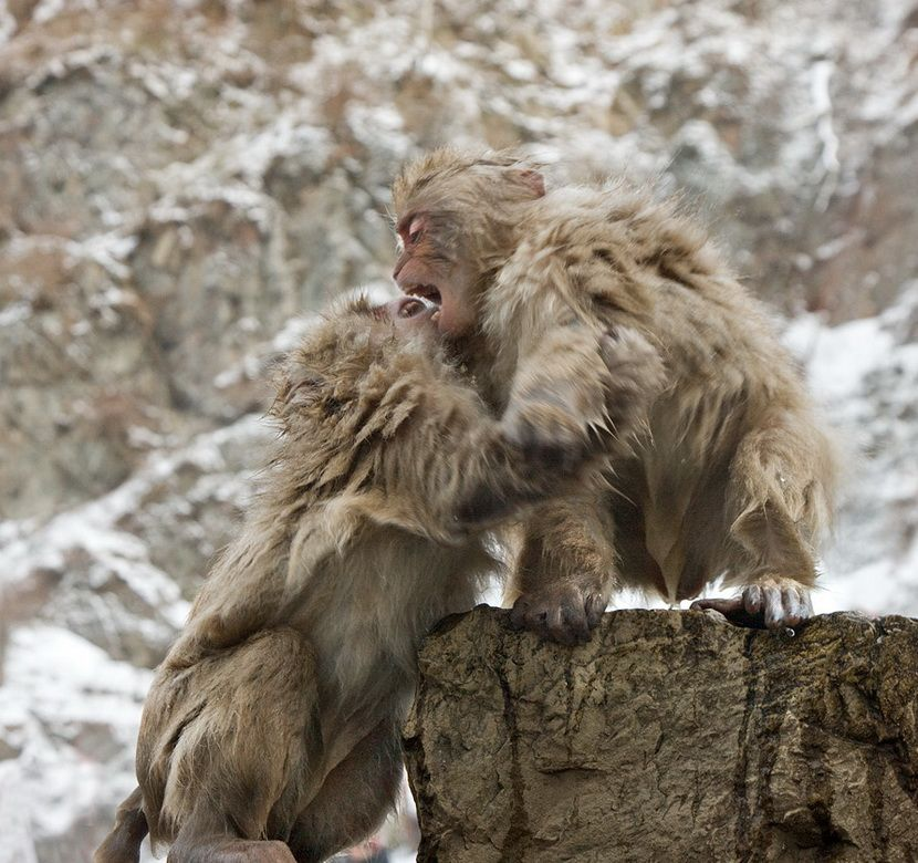 Мавп'ячий курорт Долина Дзігокудані («Пекельна долина») (6)