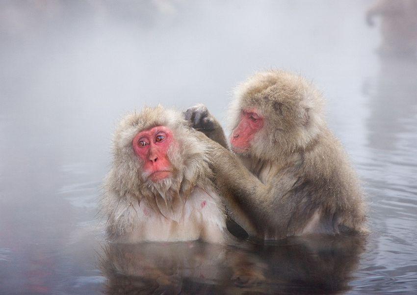 Мавп'ячий курорт Долина Дзігокудані («Пекельна долина») (4)