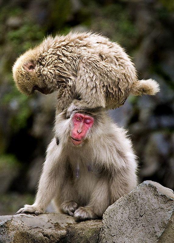 Мавп'ячий курорт Долина Дзігокудані («Пекельна долина») (1)