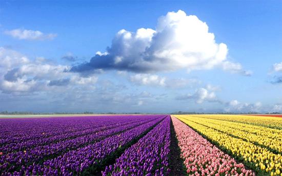 плантація тюльпанів в Голландії