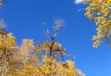 Осиковий ліс Пандо. Тремтячий гігант (4)